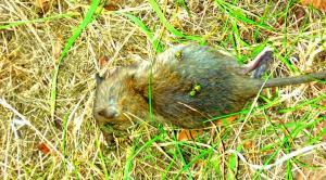 """In der Grünfläche vor der """"Gemeinschaftsunterkunft"""" für Asylbewerber in der Plattlinger Straße liegt eine tote Ratte. Alltäglich."""