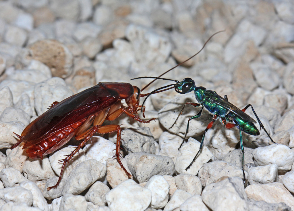 """Weibchen der Juwelwespe Ampulex compressa (rechts) und eine amerikanische Großschabe (Periplaneta americana), die durch das Gift der Wespe """"gezähmt"""" wurde und der Wespenlarve als Nahrung dienen wird. Foto: Dr. Gudrun Herzner"""
