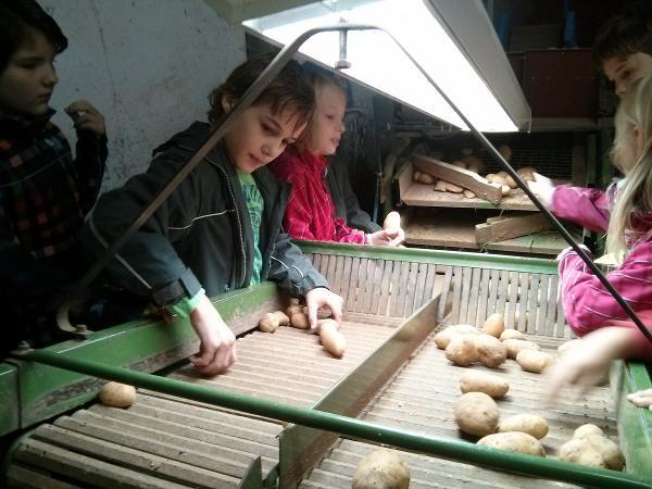 Welche Kartoffeln dürfen in den Handel? Und welche werden zum Schweinefutter? Foto: Phoebe Ploedt
