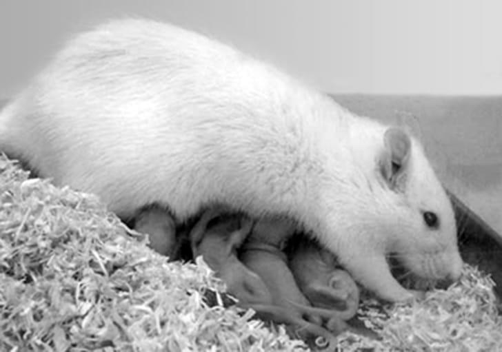 Rattenweibchen beim Säugen von Jungtieren. Bildnachweis: Prof. Dr. Inga Neumann